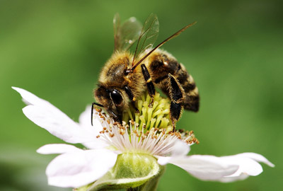 Lass es blühen - Biene auf weißer Blüte