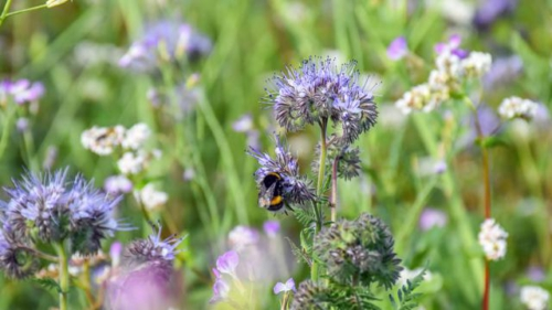 Biene an der Blume