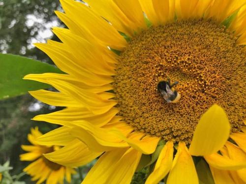 Lass es blühen - Hummel auf Sonnenblume