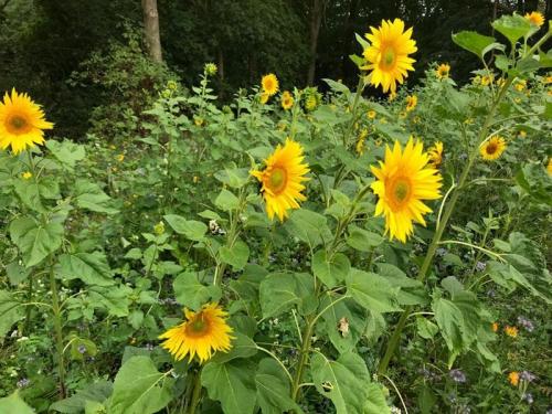 Lass es blühen - Sonnenblumen
